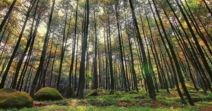 Hitan Pinus Imogiri