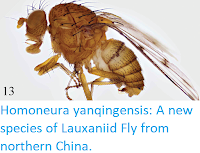 http://sciencythoughts.blogspot.co.uk/2018/03/homoneura-yanqingensis-new-species-of.html