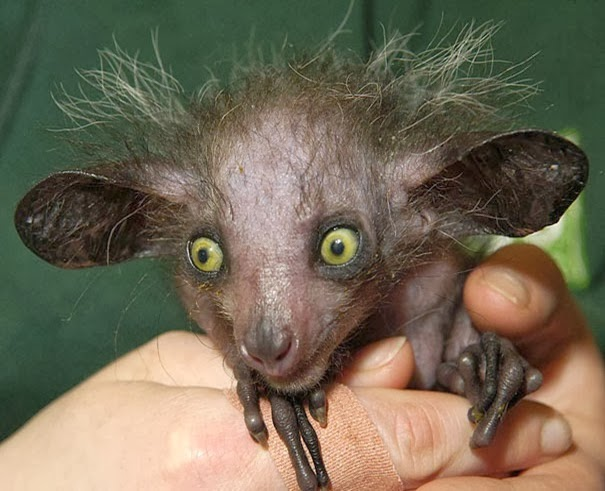 Aye-aye - 22 Bizzarre Animals You Probably Didn't Know Exist