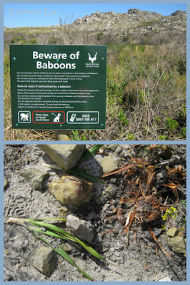Beware of baboons who dig up Watsonia corms