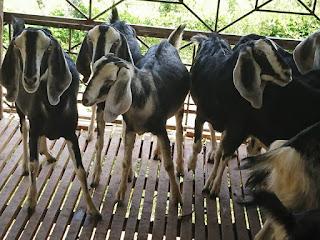 Địa chỉ bán cừu giống, dê giống tại ninh thuận