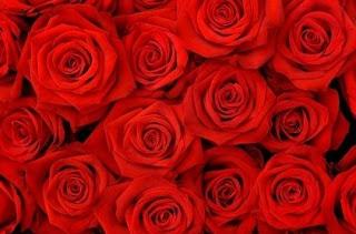 gambar bunga mawar indah 6