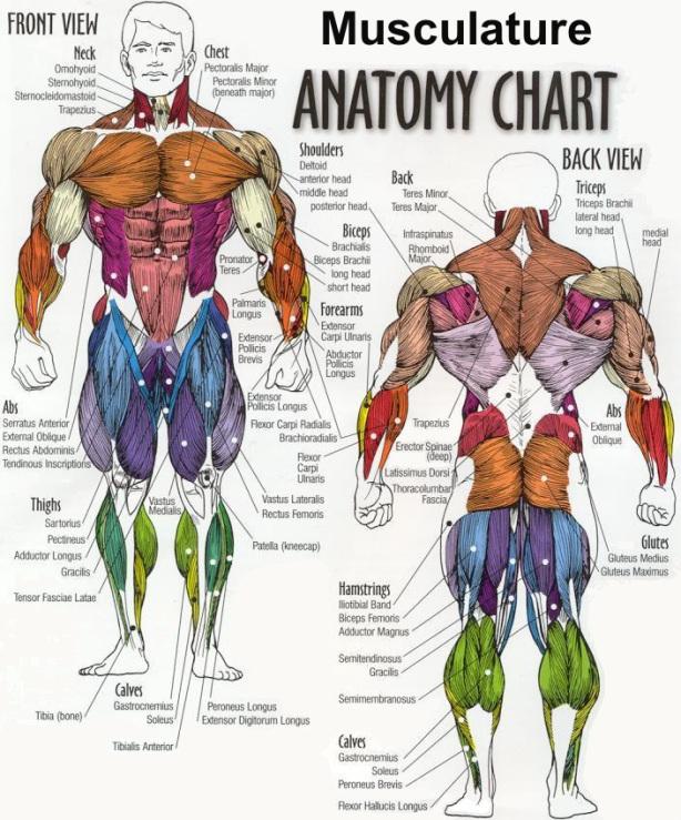 anatomi otot besar dan tendon manusia posisi dari depan dan belakang tubuh manusia