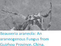 https://sciencythoughts.blogspot.com/2017/07/beauveria-araneola-araneogenous-fungus.html