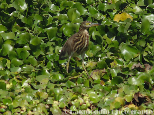 Pond Heron at Pashan Lake, Pune, Maharashtra, India