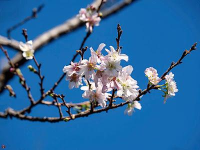 Jyugatsu-sakura (October cherry) flowers: Engaku-ji