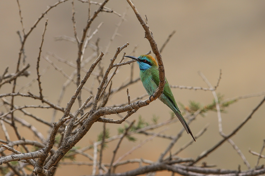 Arabian Green Bee-eater – A new Arabian endemic?