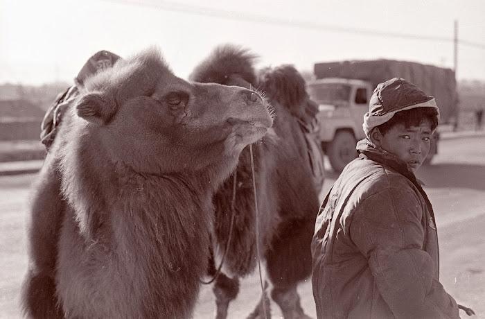 Qinhaï, Golmud, chameaux, © L. Gigout, 1990