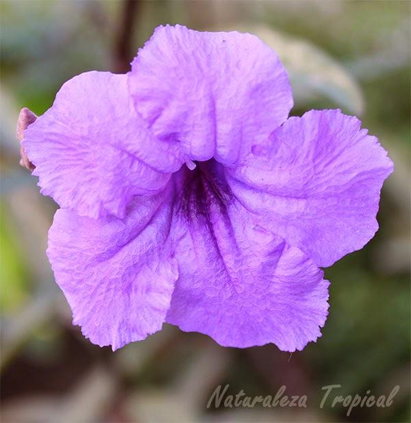 Variedad púrpura de una flor del género Ruellia