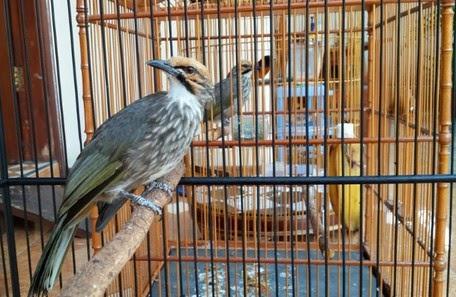 Gambar Burung Cucak Rowo