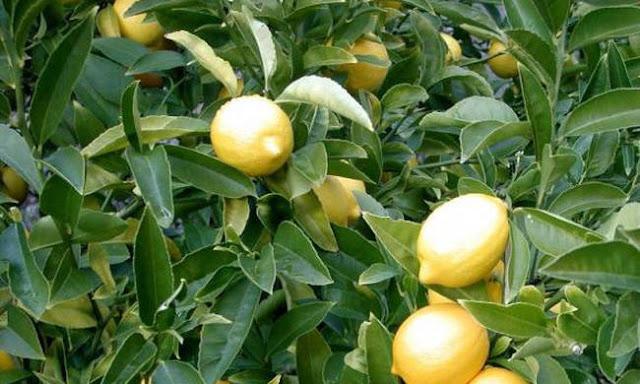 Σοκ στην Πάτρα: Σκαρφάλωσε να μαζέψει λεμόνια και καρφώθηκε στα κάγκελα