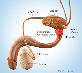 Apa Itu Kelenjar Prostat ? Fungsi & Cara Kerja Pada Pria