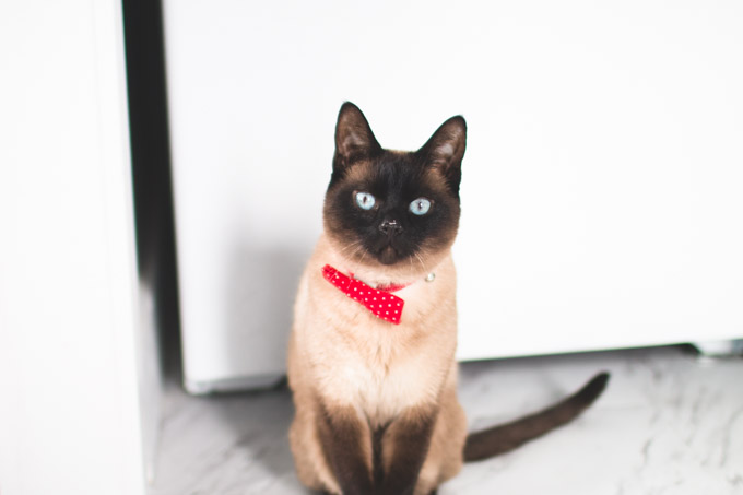 cat with bow tie, siamese cat