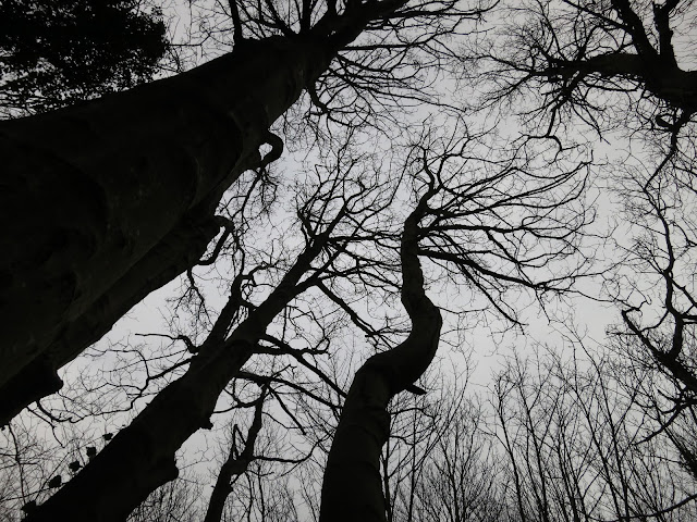 Silhouettes of sycamores in winter with ivy climbing