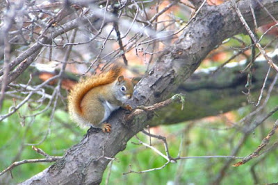 pre-scamper red squirrel