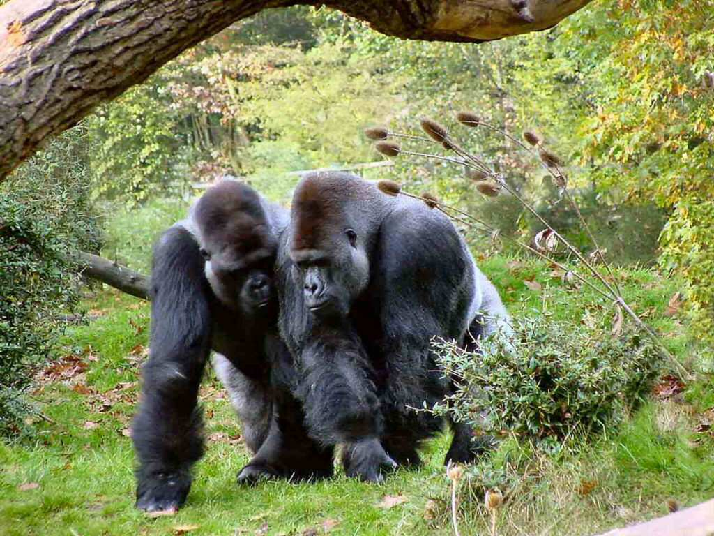 Mothers Day Hd Wallpaper Gorilla The Biggest Animals Kingdom