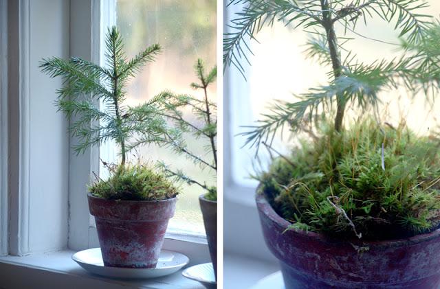 Pynt op til jul med små juletræer i lerpotter