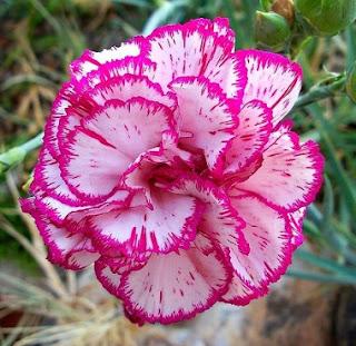 Gambar Bunga Anyelir Cantik 1