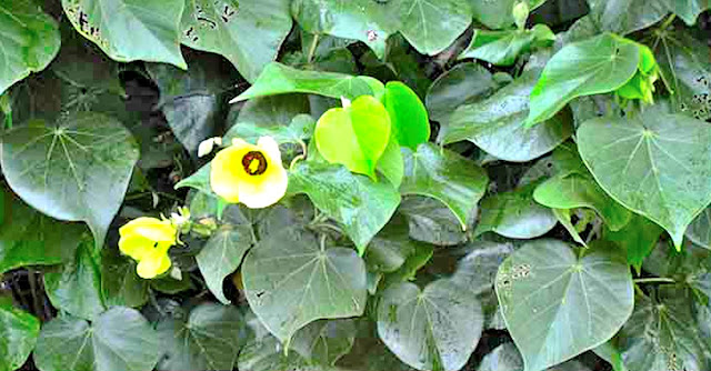 Balibago was supposed to have been named after the malabago plant, also called balibago in Tagalog.  Image source:  Philippine Medicinal Plants.