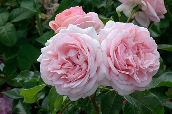 Voyage сорт розы фото Тантау