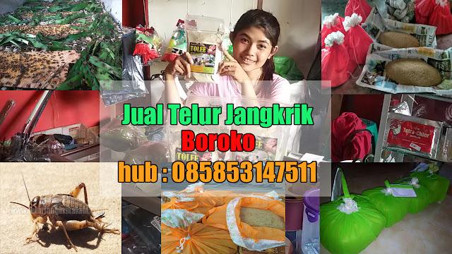 Jual Telur Jangkrik Boroko Hubungi 085853147511
