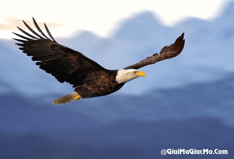 Giải mã giấc mơ thấy Đại bàng & ngủ nằm mơ thấy chim Đại bàng