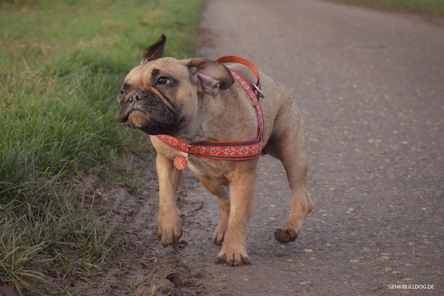 Hundeblog Französische Bulldogge Shake It Sich schüttelnde Hunde