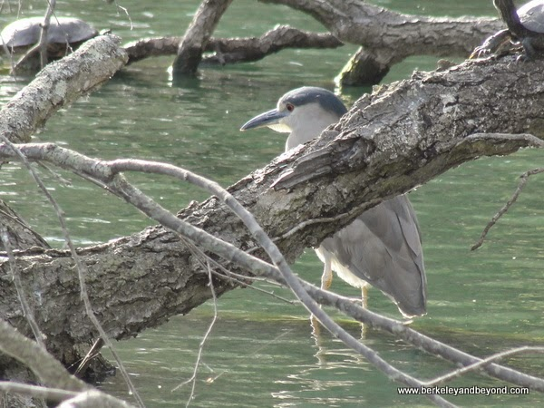 mystery bird in lagoon at Palace of Fine Arts in San Francisco