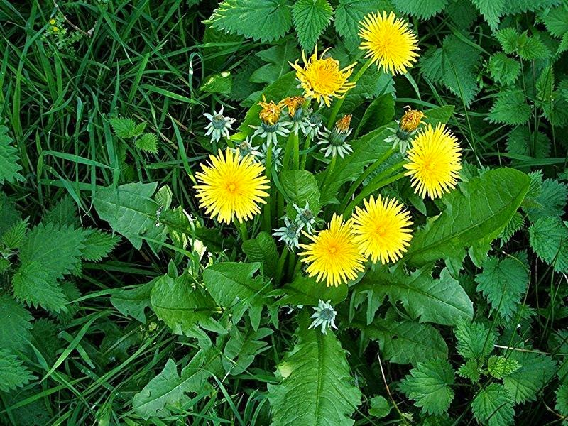 Uses for dandelions #foraging #saveourskills