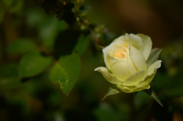 small sunny garden, desert garden, miniature roses, amy myers, photography