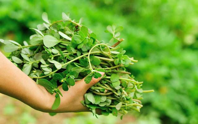 Γλιστρίδα το θεραπευτικό φυτό και η τρομακτική του περιεκτικότητα σε βιταμίνες !!!