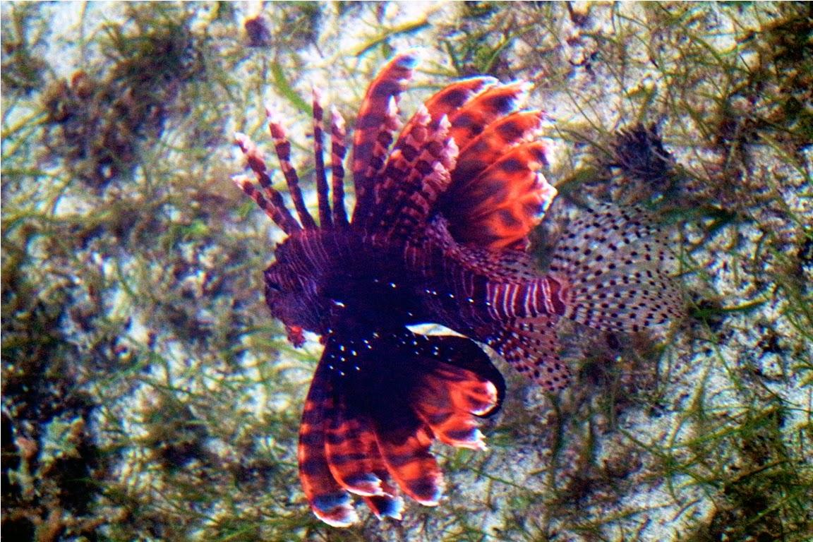 Hati-hati terhadap ikan Lionfish ini, siripnya beracun