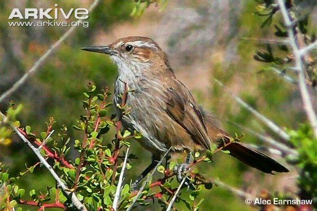 Bandurrita patagónica, Ochetorhynchus phoenicurus