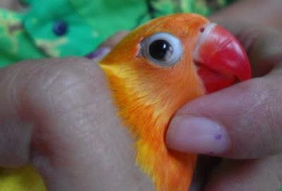 cara mengobati snot pada lovebird