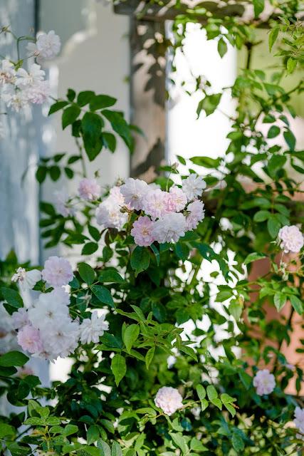 Impressionen aus dem Rosengarten, Pomponetti, Paul's Himalayan Musk