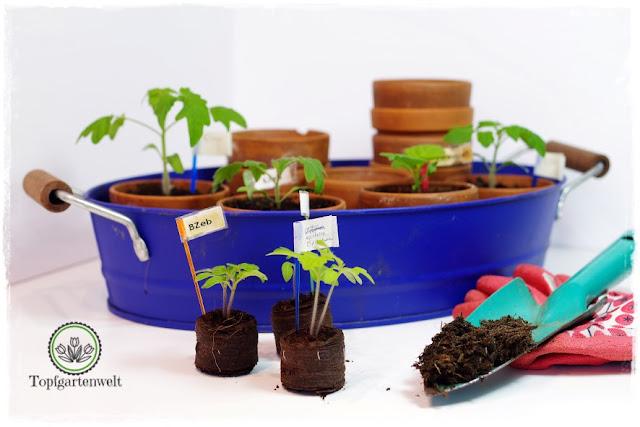 Gartenblog Topfgartenwelt Anzucht Aussaat Grow-Box: Tomaten Kokosquelltabs Sämlinge