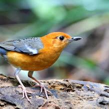 Perawatan Penting Untuk Burung Anis Merah Tetap Ngerol