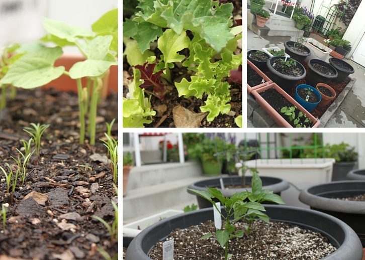 Bean and carrot sprouts, lettuce and kale, pepper seedlings, and the veggie patch // Garden Update: Mid May 2016 // WWW.THEJOYBLOG.NET