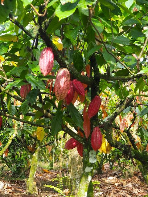 Cocoa bean plant in Glenmore plantation, Kalibaru, East Java, Indonesia