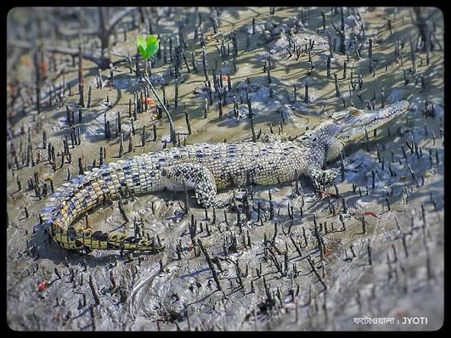 sunderbone biospher reserve,ghorial,pneumetaphore.,crocodile,nature,ecosystem