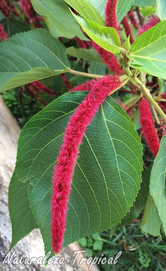 Vista de la inflorescencia típica de la planta Cola de Mono o Moco de Pavo, Acalypha hispida