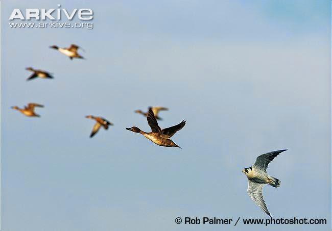 Europe ducks