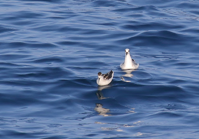 Red-necked Phalarope (left front), Red Phalarope (right rear)