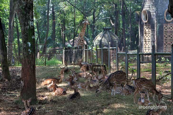 rusa tutul kebun binatang ragunan jakarta