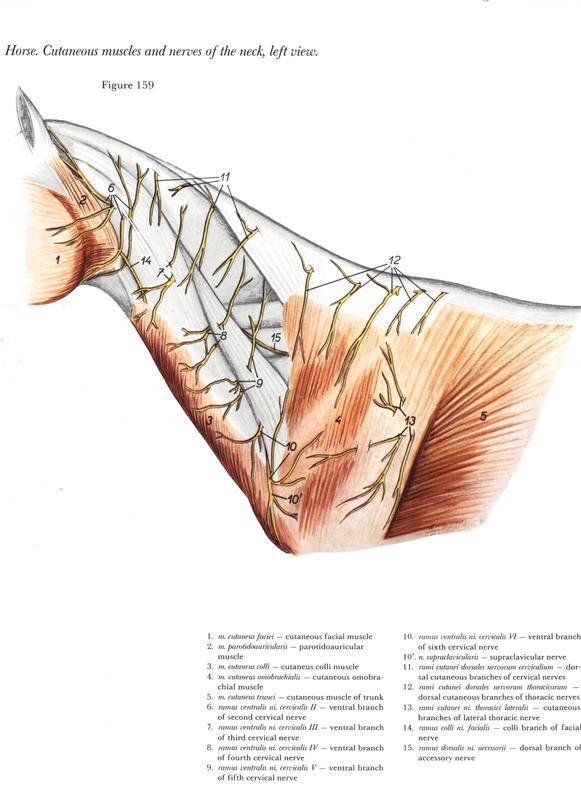anatomia-cabeca-pescoco-neck-head-horse-cavalo-equino-nervous