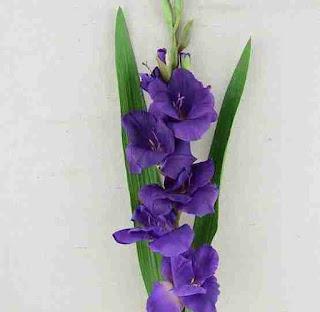 Γλαδίολος (Gladiolus)