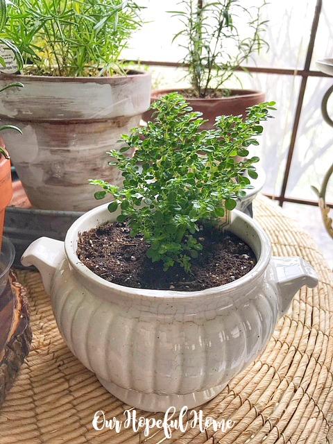 artillery plant ironstone tureen terra cotta clay pot asparagus fern houseplant