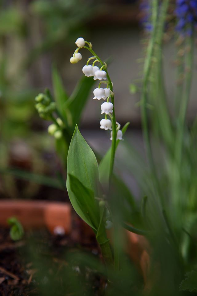The magic garden lily of the valley from white flower farm mightylinksfo