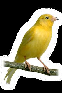 suara kenari-kenari yang disilangkan dengan spesies burung Finch yang lain. Berikut ada 3 tambahan audio suara kenari ngerol panjang