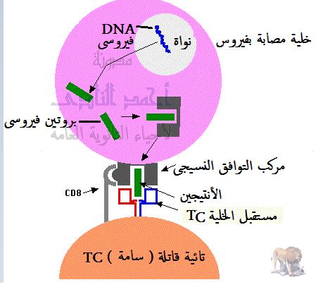 تركيب الجهاز المناعى - الخلايا الليمفاوية - الخلايا التائية - التائية السامة أو القاتلة